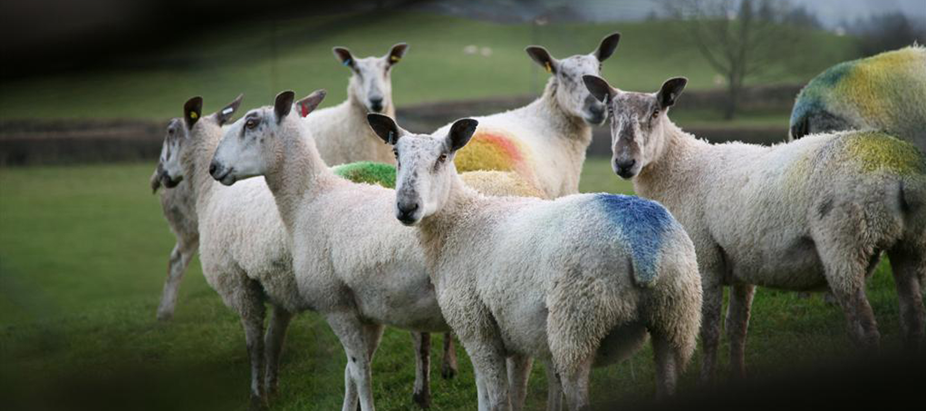 Bluefaced Leicesters (photo by Bonnysheep)