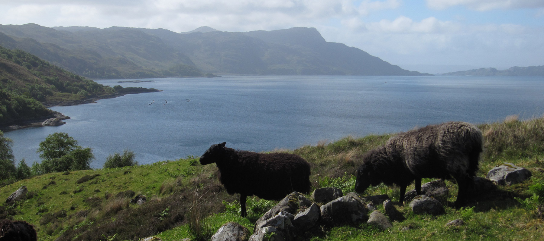 Black Welsh Mountain sheep, Loch Nevis