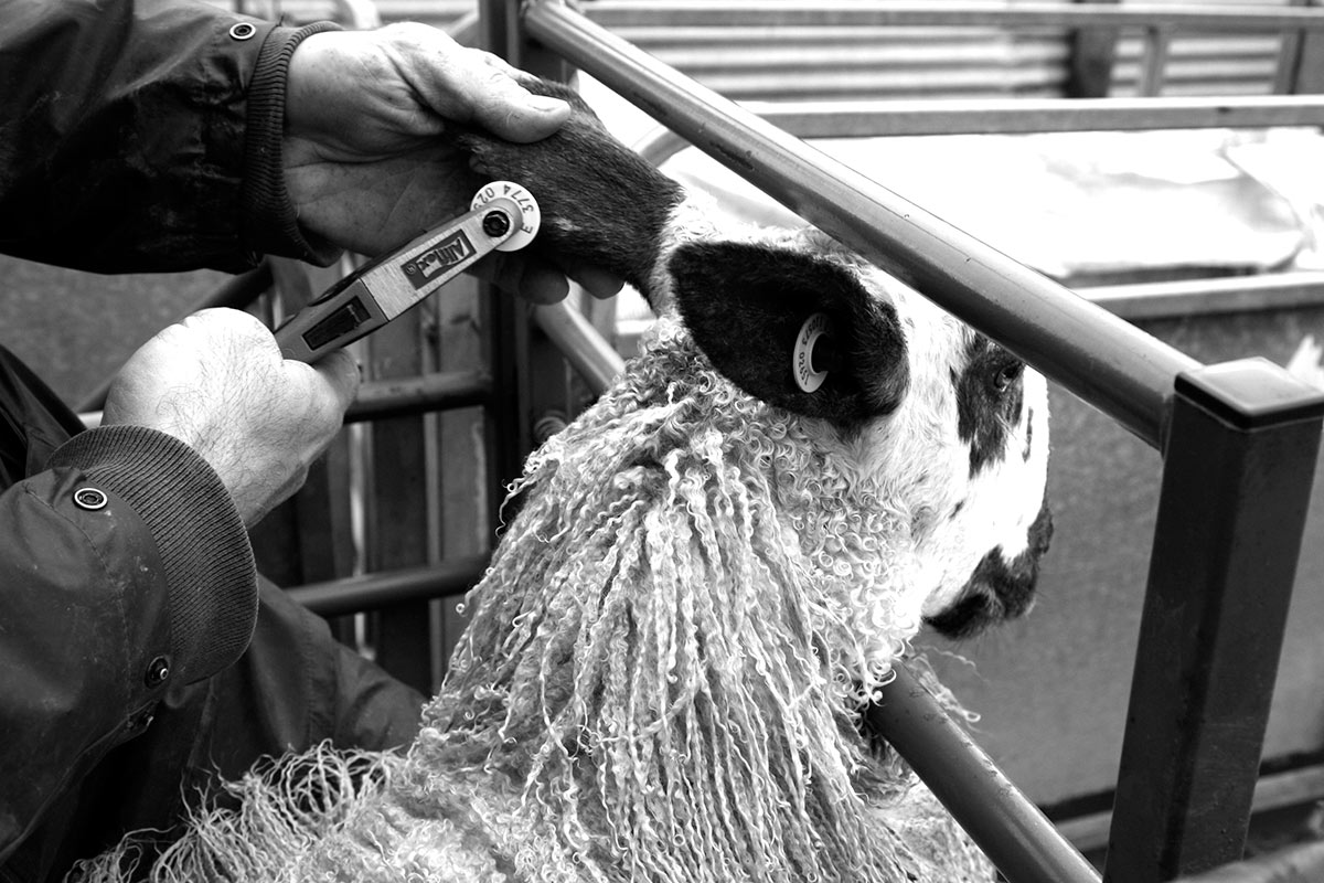 Lauras Loom, Weaving processes, Sheep tagging